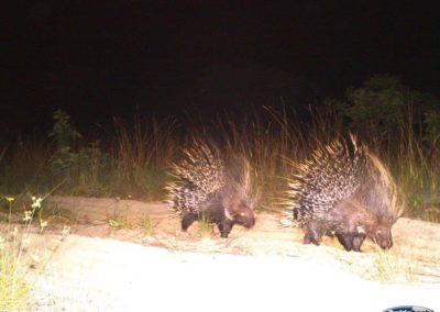 Porcupine pair2 - National Geographic - Okavango Wilderness Project