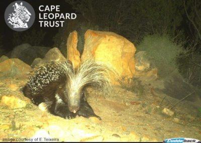 Porcupine_2 - E Teixeira - Cape Leopard Trust