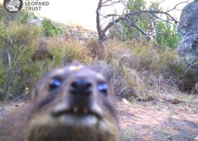 Rock hyrax_1 - Cape Leopard Trust