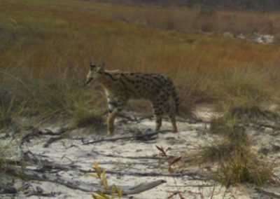 Serval2 - National Geographic - Okavango Wilderness Project