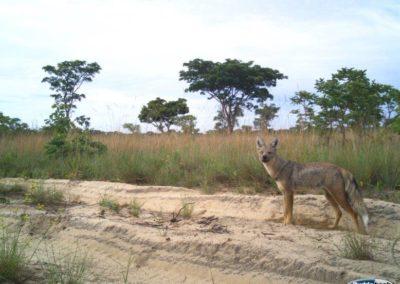 Side striped jackal - National Geographic - Okavango Wilderness Project