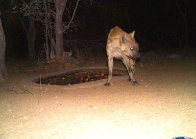 Spotted hyaena - Chris Thorpe