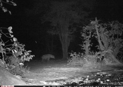 Spotted hyaena - Luke Veen - Zambia