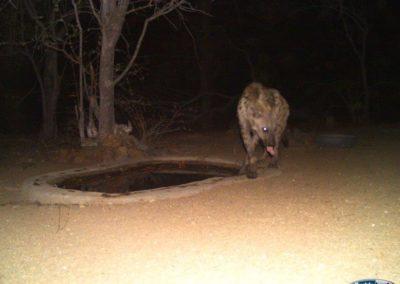 Spotted hyaena2 - Chris Thorpe