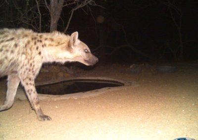 Spotted hyaena3 - Chris Thorpe