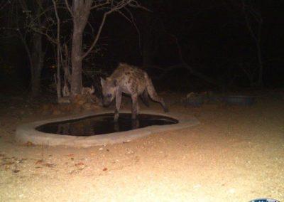 Spotted hyaena8 - Chris Thorpe