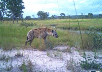 Spotted hyena - National Geographic - Okavango Wilderness Project
