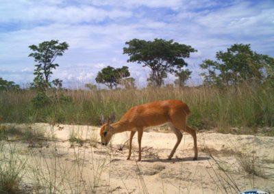 Steenbok - National Geographic - Okavango Wilderness Project