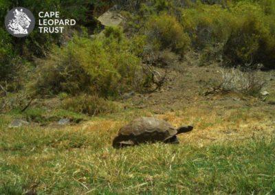 Tortoise_1 - Cape Leopard Trust