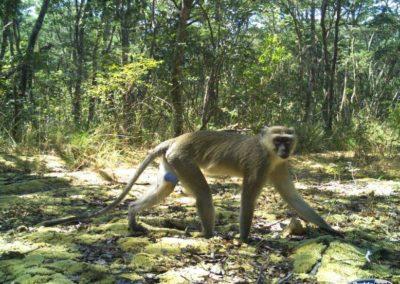 Vervet monkey - National Geographic - Okavango Wilderness Project