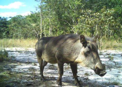 Warthog - National Geographic - Okavango Wilderness Project