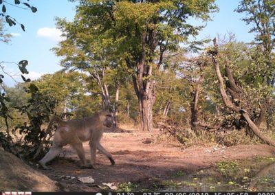 Yellow baboon - Luke Veen - Zambia