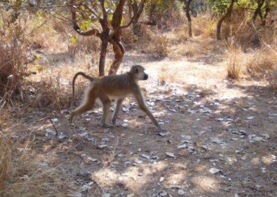 Yellow baboon2 - Luke Veen - Zambia