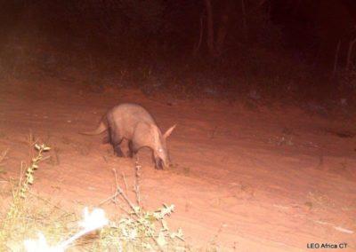 Aardvark - LEO Africa - Volunteers for Wildlife and Conservation