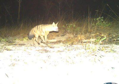 Aardwolf - Nat Geo - Into the Okavango