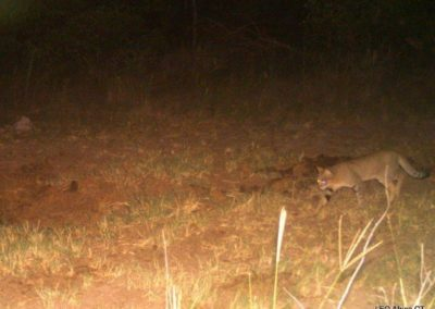 African wild cat_1 - LEO Africa - Volunteers for Wildlife and Conservation