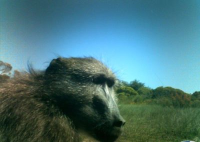 Baboon male - Platbos Forest Reserve