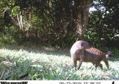 Banded mongoose - Richard McKibbin - Zimbali Coastal Estate