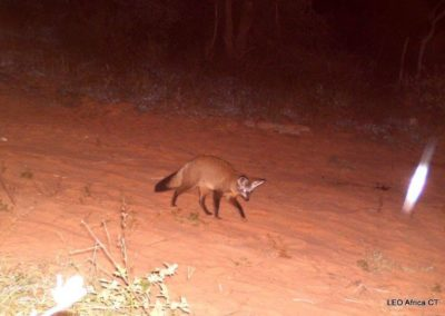 Bat eared fox - LEO Africa - Volunteers for Wildlife and Conservation
