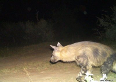 Brown hyena_1 - LEO Africa - Volunteers for Wildlife and Conservation