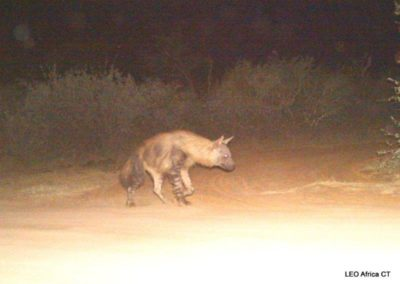 Brown hyena_2 - LEO Africa - Volunteers for Wildlife and Conservation
