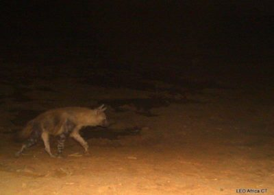 Brown hyena_3 - LEO Africa - Volunteers for Wildlife and Conservation