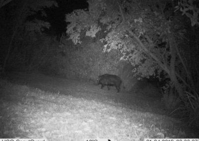 Bush Pigs_3 - WP Guardians