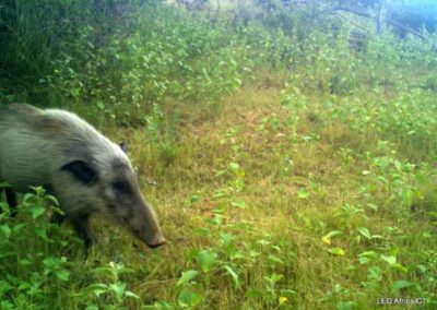 Bush pig - LEO Africa - Volunteers for Wildlife and Conservation