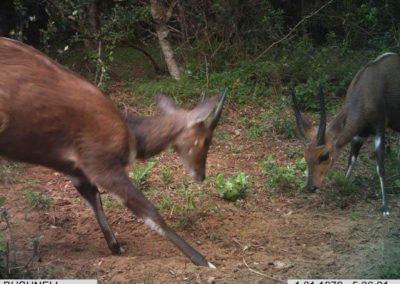 Bushbuck rams sparring - Richard McKibbin - Zimbali Coastal Estate