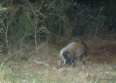 Bushpig - LEO Africa - Volunteers for Wildlife and Conservation