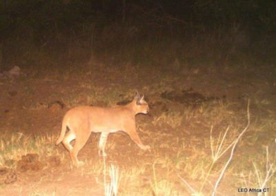 Caracal_1 - LEO Africa - Volunteers for Wildlife and Conservation