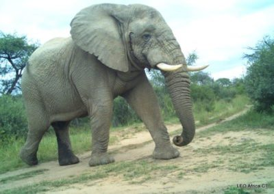 Elephant bull_1 - LEO Africa - Volunteers for Wildlife and Conservation