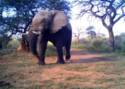 Elephant bull_2 - LEO Africa - Volunteers for Wildlife and Conservation
