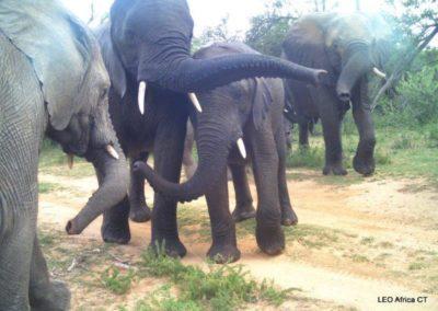 Elephant herd - LEO Africa - Volunteers for Wildlife and Conservation