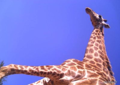 Giraffe - mole view - LEO Africa - Volunteers for Wildlife and Conservation