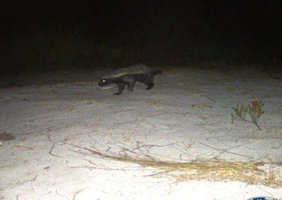 Honey badger - Grootbos Foundation