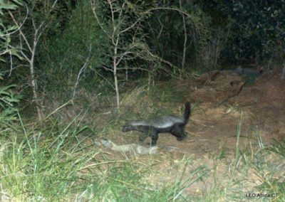 Honey badger - LEO Africa - Volunteers for Wildlife and Conservation