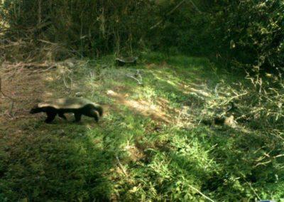 Honey badger pair - Platbos Forest Reserve
