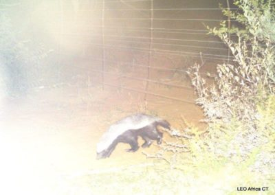 Honey badger_1 - LEO Africa - Volunteers for Wildlife and Conservation