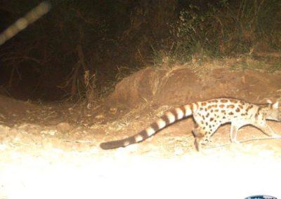 Large spotted genet - Richard McKibbin - Zimbali Coastal Estate