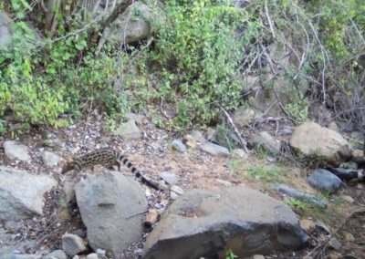 Large spotted genet - daytime - Zulu Rock Game Lodge