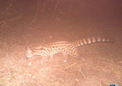 Large spotted genet_2 - Richard McKibbin - Zimbali Coastal Estate