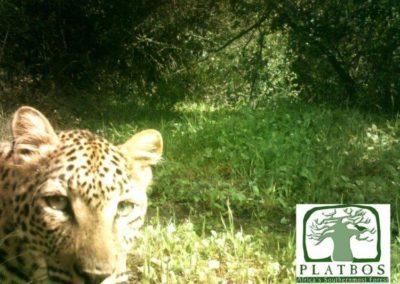 Leopard - Platbos Forest Reserve