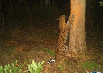 Leopard marking tree - Grootbos Foundation