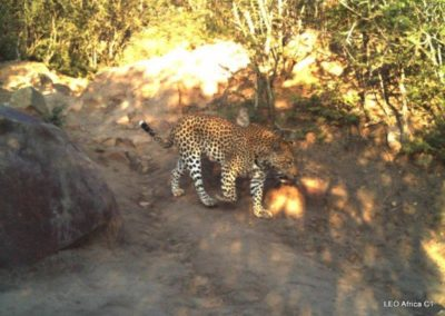 Leopard_1 - LEO Africa - Volunteers for Wildlife and Conservation