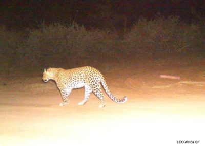 Leopard_3 - LEO Africa - Volunteers for Wildlife and Conservation