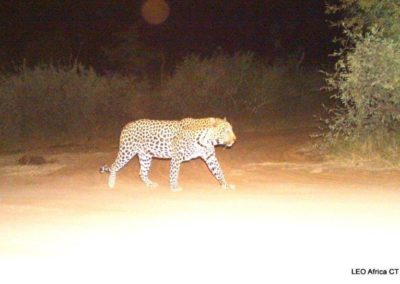 Leopard_4 - LEO Africa - Volunteers for Wildlife and Conservation