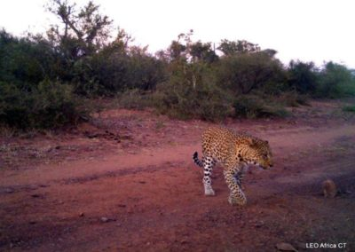 Leopard_5 - LEO Africa - Volunteers for Wildlife and Conservation