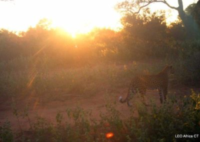 Leopard_6 - LEO Africa - Volunteers for Wildlife and Conservation