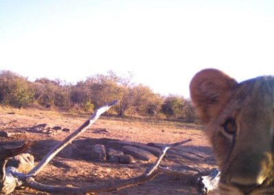 Lion cub and cam - LEO Africa - Volunteers for Wildlife and Conservation